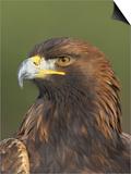 Golden Eagle (Aquila Chrysaetos) Adult Portrait, Cairngorms National Park, Scotland, UK Posters by Pete Cairns