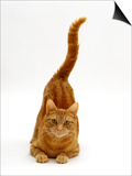 Domestic Cat, Ginger Tabby Female with Rear End and Tail in Air after Enjoying Being Stroked Prints by Jane Burton