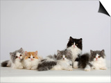 Persian Cat, Five Kittens, Silver-And-White, Black-And-White and Ginger-And-White Sitting in Line Prints by Petra Wegner