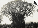 A Fine Banyan Tree, Apia, Samoa Posters
