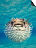 Close-up of a Puffer Fish, Bahamas Prints