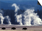 Landscape with Bison and Steam from Geysers, Yellowstone National Park, Wyoming Us Poster by Pete Cairns
