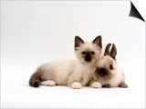 Seal-Point Birman Kitten with Baby Seal-Point Netherland Dwarf Rabbit, Colour Coordinated Prints by Jane Burton