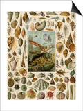 Varieties of Molluscs, Including Scallop, Clam, Conch, Snail, and Squid Print