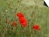 Poppies on Flanders Fields Art by Magda Indigo