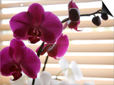 Purple Orchids II Posters by Nicole Katano