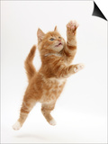 Ginger Kitten Leaping in to the Air Prints by Mark Taylor