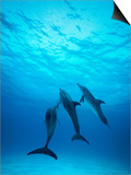 Atlantic Spotted Dolphins Underwater Poster by Stuart Westmorland