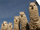 Alpacas, Andes, Ecuador Art by Pete Oxford