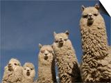 Alpacas, Andes, Ecuador Prints by Pete Oxford