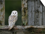 Barn Owl, in Old Farm Building Window, Scotland, UK Cairngorms National Park Print by Pete Cairns