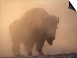 Bison, Bull Silhouetted in Dawn Mist, Yellowstone National Park, USA Prints by Pete Cairns