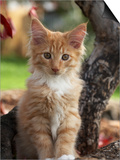 Maine Coon Red Tabby Cat Kitten, Three-Months Poster by Adriano Bacchella