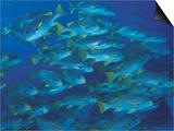 Schooling Lined Sweetlips, Great Barrier Reef, Australia Posters by Jurgen Freund