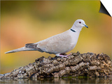 Collared Dove at Water's Edge, Alicante, Spain Prints by Niall Benvie