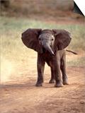 African Elephant Baby (Loxodonta Africana) Prints by Elizabeth DeLaney