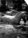 2 White Horses in Water Print by Tim Lynch