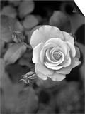 Delicate Petals III Poster by Nicole Katano