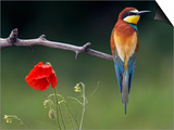European Bee-Eater (Merops Apiaster) Perched Beside Poppy Flower, Pusztaszer, Hungary, May 2008 Posters by  Varesvuo