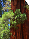 Sequoia Art Print by Philippe Sainte-Laudy