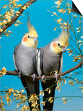 Two Cockatiels, Males (Nymphicus Hollandicus) Australia Poster by  Reinhard