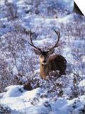 Red Deer Stag, Amongst Snow-Covered Birch Regeneration, Scotland, UK Poster by Niall Benvie