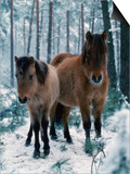 Domestic Horse, Dulmen Ponies, Mare with Foal in Winter, Europe Posters by  Reinhard