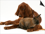 Irish Setter with Dwarf Rex Rabbit Print by Jane Burton