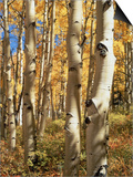 Aspen (Populus Tremuloides) Trees Poster by Allen Russell