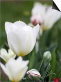 White Tulips Posters by Katano Nicole