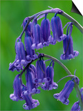 Bluebell Flower, UK SwitchArt&#8482 PrintNiall Benvie
