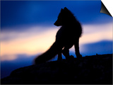 Arctic Fox (Vulpes Lagopus) Silhouetted at Twilight, Greenland, August 2009 Prints by  Jensen