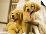 Two Golden Retriever Puppies Sitting in Chair Posters by Jon Riley