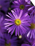 "Aster Frikartii ""Monch"" Close-up of Purple Flower with Due Posters by Lynn Keddie"
