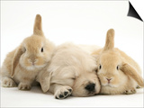 Golden Retriever Puppy Sleeping Between Two Young Sandy Lop Rabbits Print by Jane Burton