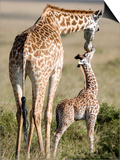 Masai Giraffe with its Calf, Masai Mara National Reserve, Kenya Poster