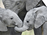 African Elephant Calves (Loxodonta Africana) Holding Trunks, Tanzania Posters