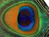 Close-Up of the Eye of a Peacock Feather, (Pavo Cristatus) Posters by Ashok Jain