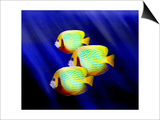 Angelfish Underwater Prints by Rich LaPenna