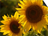 Sunflowers in Prairie Fields Stampe di Keith Levit