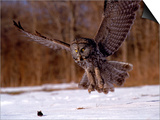 Great Gray Owl Flying, Rowley, MA Prints by Harold Wilion