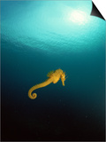 Yellow Seahorse Against Sunlight, Mediterranean Sea Art by Jurgen Freund