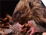 Hedgehog Carrying Newborn to New Nest (Erinaceus Europaeus), UK Poster by Jane Burton