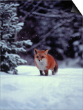 Red Fox in Snowy Wood Posters by John Luke