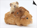 Mother Guinea Pig with Two Babies Riding on Her Back Posters by Mark Taylor