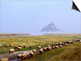 Flock of Sheep in a Field with Mont Saint-Michel Island in the Background, Manche Prints by Green Light Collection