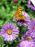 Butterfly on Aster Novae Angliae, September Art by Lynn Keddie