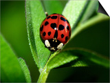 Nine Spotted Lady Bug Beetle Prints by Larry Jernigan