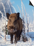 Wild Boar in Winter (Sus Scrofa), Europe Prints by  Reinhard