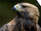 Golden Eagle, 4th Year Male, Scotland, UK Prints by Niall Benvie
